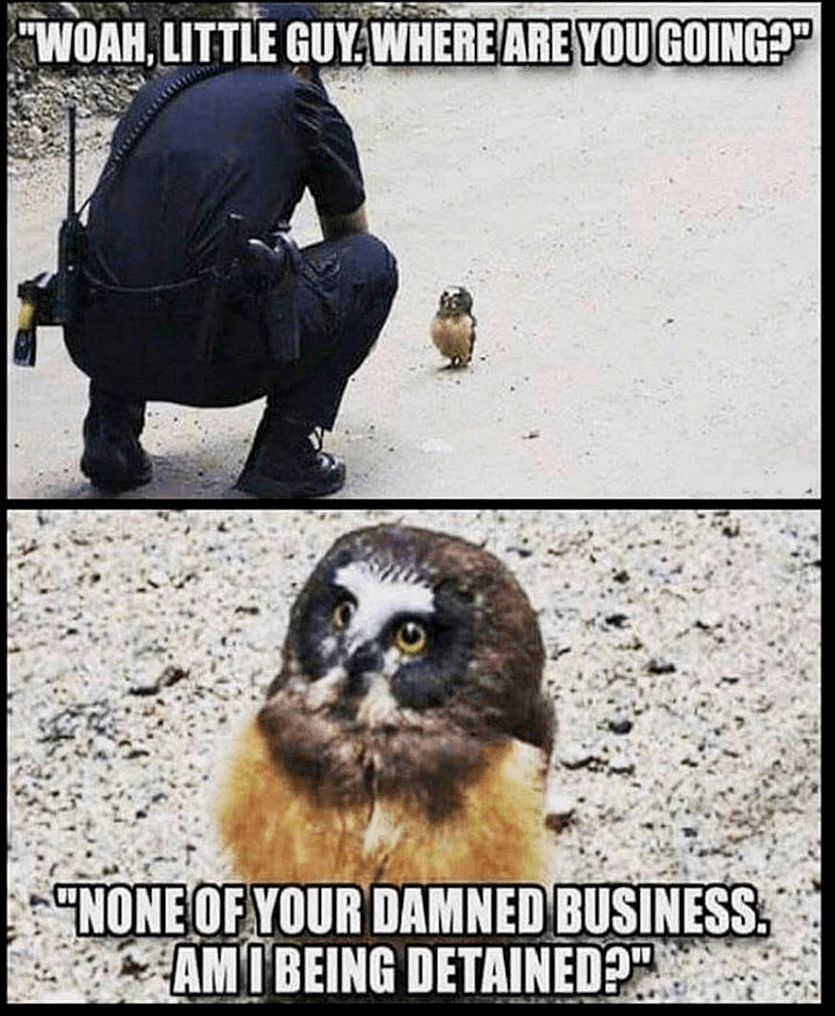 Law Meme  Sassy Owl Meme This owl knows his rights and he has the sass to let you know. We all know that whether or not this owl is detained, he makes the perfect subject to a 10/10 meme.